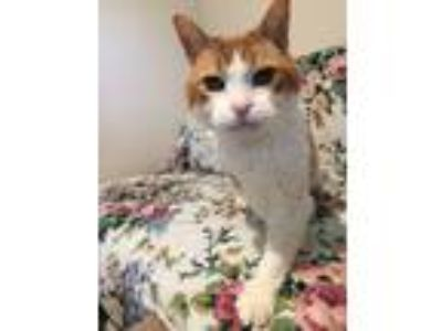 Adopt Clementine a Orange or Red Domestic Shorthair (short coat) cat in
