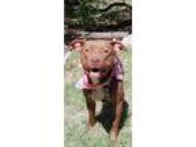 Adopt Stevie a Brown/Chocolate Pit Bull Terrier / Mixed dog in Lago Vista