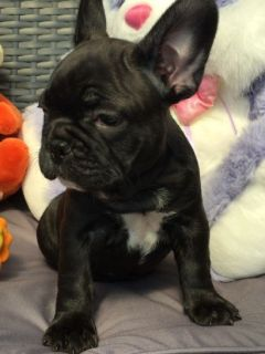 Kc Registered Frenchie Pups French Bulldog Puppies
