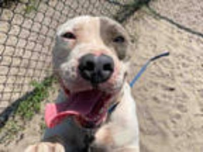 Adopt BAILEY a White American Staffordshire Terrier / Mixed dog in Fort