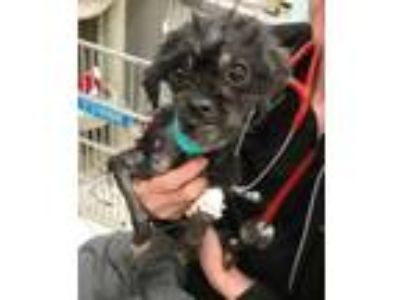 Adopt Belladonna a Black Shih Tzu / Mixed Breed (Small) / Mixed dog in Fairfax