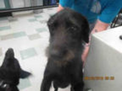 Adopt MEGHAN a Black Schnauzer (Giant) / Mixed dog in Oklahoma City