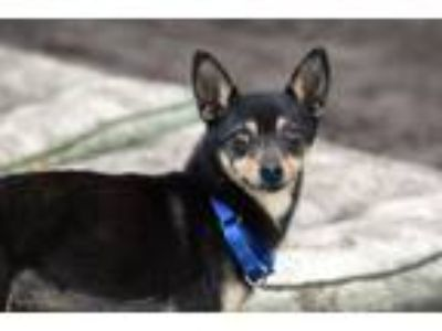 Adopt Milo a Black - with Tan, Yellow or Fawn Miniature Pinscher / Mixed dog in