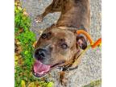 Adopt River a Brown/Chocolate Terrier (Unknown Type, Small) dog in New York
