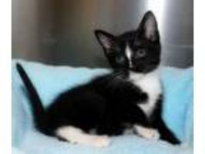 Adopt Avril a Domestic Short Hair