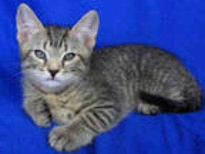 Adopt GONZO a Brown Tabby Domestic Shorthair / Mixed (short coat) cat in