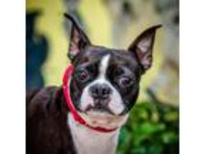 Adopt Mercy a Boston Terrier / Mixed dog in St. Petersburg, FL (25904842)