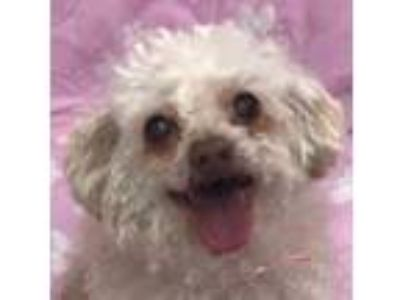 Adopt Haidy a Poodle, Mixed Breed