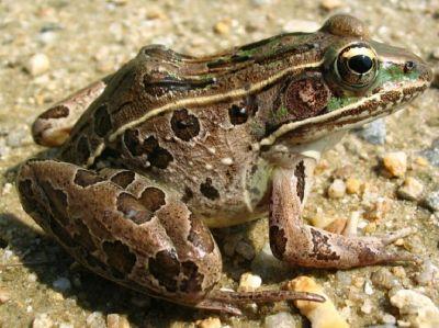 Frogs Needing Home