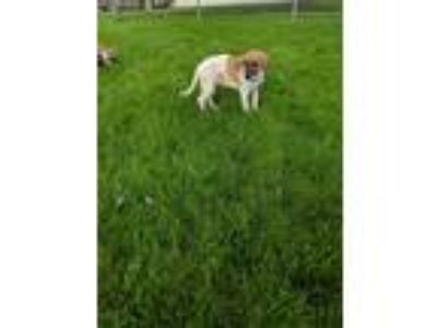 Adopt Cowboy a White - with Red, Golden, Orange or Chestnut Labrador Retriever /