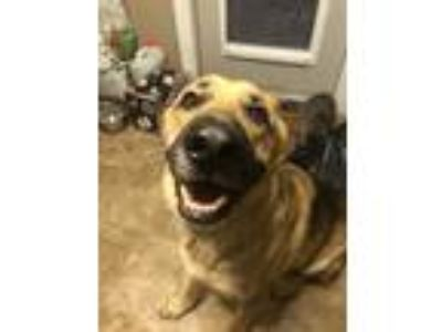 Adopt Rex a Black - with Tan, Yellow or Fawn German Shepherd Dog dog in