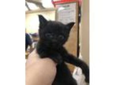 Adopt Micah a All Black Domestic Shorthair / Domestic Shorthair / Mixed cat in