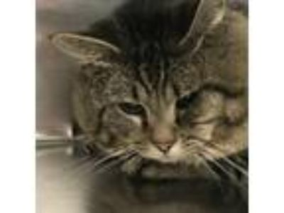 Adopt Piezon a Gray or Blue Domestic Shorthair / Domestic Shorthair / Mixed cat