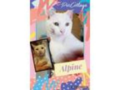 Adopt Alpine a Domestic Short Hair