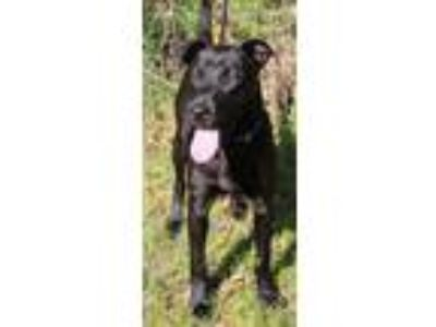 Adopt Levi a Black Labrador Retriever / Mixed dog in North Myrtle Beach