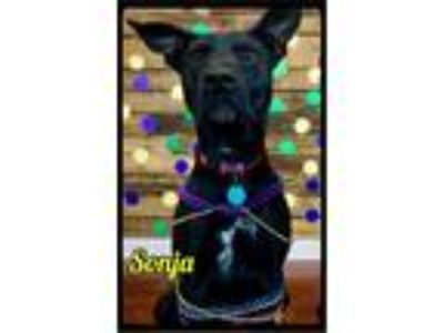 Adopt Sonja - Foster (101) / 2016 a Black Labrador Retriever, Cattle Dog