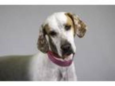 Adopt MYA a German Shorthaired Pointer, Mixed Breed