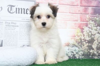 Havanese PUPPY FOR SALE ADN-95896 - Sadie Very Sweet Female Havanese Puppy