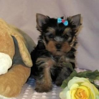 Healthy Male And Female Yorkie Puppies For Adoptipontext