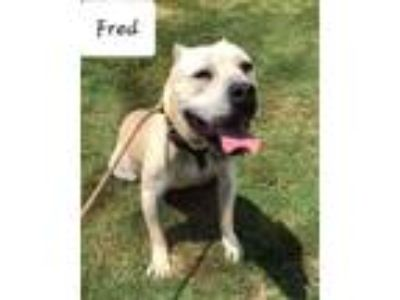 Adopt Fred a Cane Corso Mastiff, Pit Bull Terrier