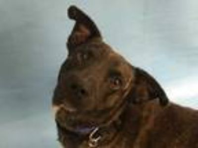 Adopt Fred a Brown/Chocolate Labrador Retriever / Mixed dog in Golden Valley