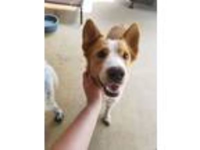 Adopt Gracie Allen a Border Collie