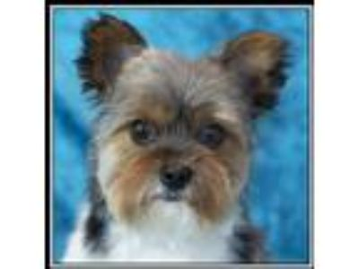 Adopt Johnny a Yorkshire Terrier