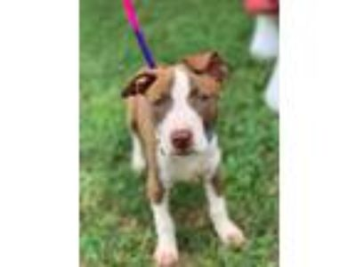 Adopt Catherine a Brown/Chocolate - with White American Pit Bull Terrier /