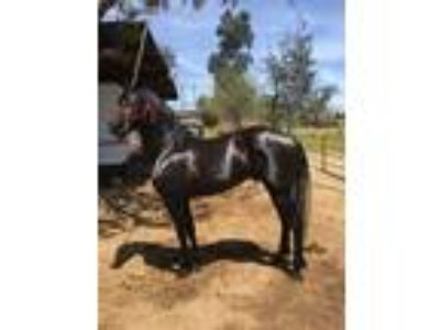 Andalusian Friesian Cold for sale