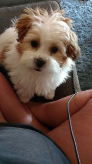 Bishon/Shih Tzu Mix Puppy
