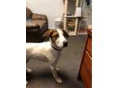 Adopt Ferris a Brown/Chocolate - with White Hound (Unknown Type) / Mixed dog in
