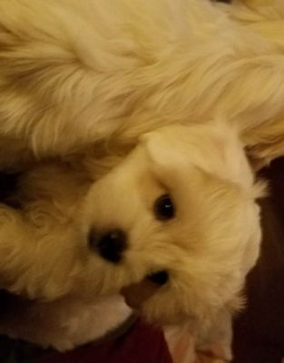 Maltipoo PUPPY FOR SALE ADN-52693 - TWO BEAUTIFUL BABY BOYS