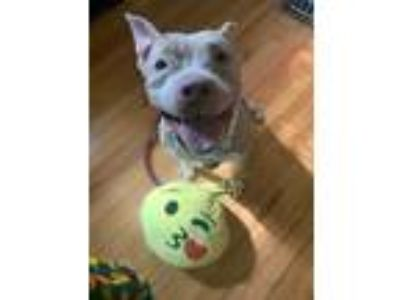 Adopt Ashley - ADOPTION PENDING! a Tan/Yellow/Fawn American Pit Bull Terrier /