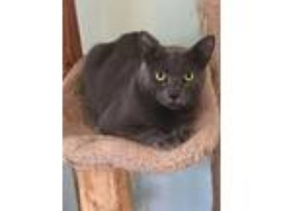 Adopt Werther a Domestic Short Hair