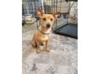 Adopt Dobby a Tan/Yellow/Fawn - with White Miniature Pinscher / Mixed dog in