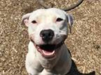 Adopt ROCCO a White American Pit Bull Terrier / Mixed dog in Charlotte