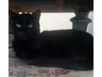 Adopt Monty a All Black Domestic Shorthair / Mixed (short coat) cat in Slidell