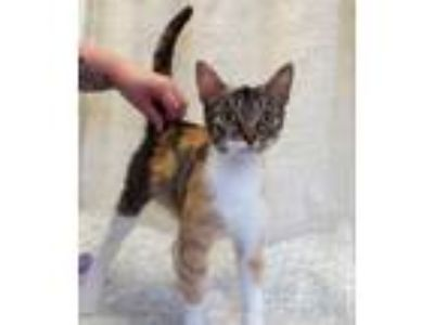 Adopt Emmy a Domestic Shorthair / Mixed (short coat) cat in Rushville