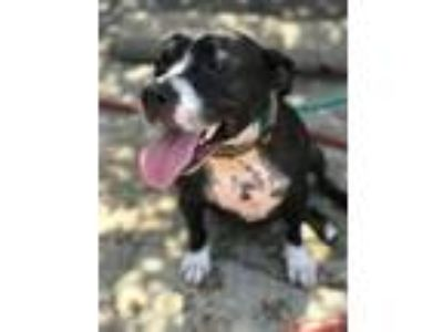 Adopt Sally a Pit Bull Terrier / Mixed dog in New Orleans, LA (25274103)