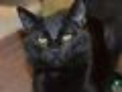 Toes Domestic Short Hair - Bombay Cat