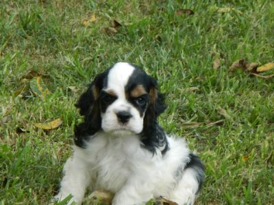 Cocker Spaniel PUPPY FOR SALE ADN-84565 - AKC GRAND CHAMPION SIRED COCKER SPANIELS
