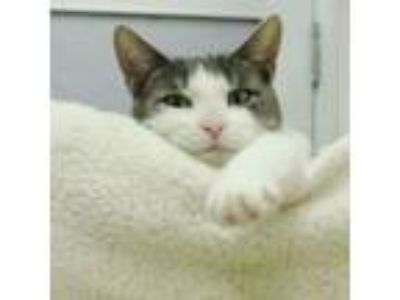 Adopt Missy a Domestic Short Hair