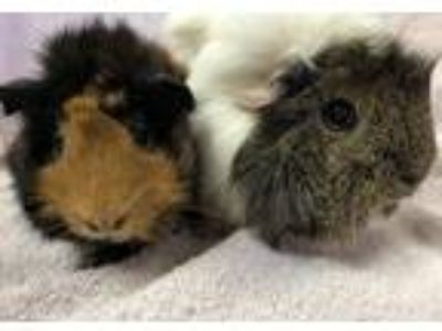 Adopt Lady G (Bonded to Alexya) a Guinea Pig small animal in Imperial Beach