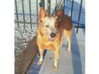Adopt Zamora a Australian Cattle Dog / Blue Heeler