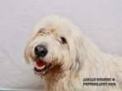 Adopt REX a Old English Sheepdog, Great Pyrenees