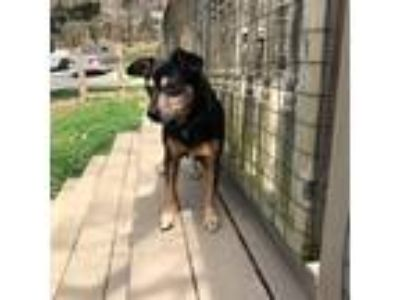 Adopt Hopper a Black - with Tan, Yellow or Fawn Miniature Pinscher / Corgi /