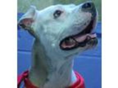 Adopt Estelline a White American Pit Bull Terrier / Mixed dog in Mission