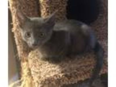 Adopt Blue a All Black Siamese cat in Dallas, TX (25629040)