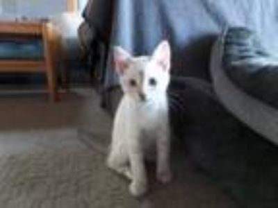 Adopt Mambo the Kitten a Domestic Short Hair, Siamese
