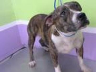 Adopt LESLIE a Boxer, Mixed Breed